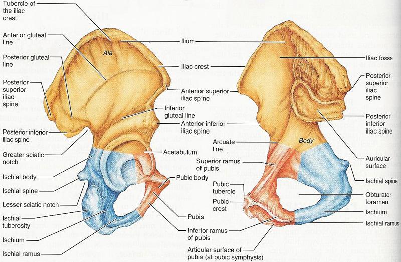 Pelvic joint anatomy